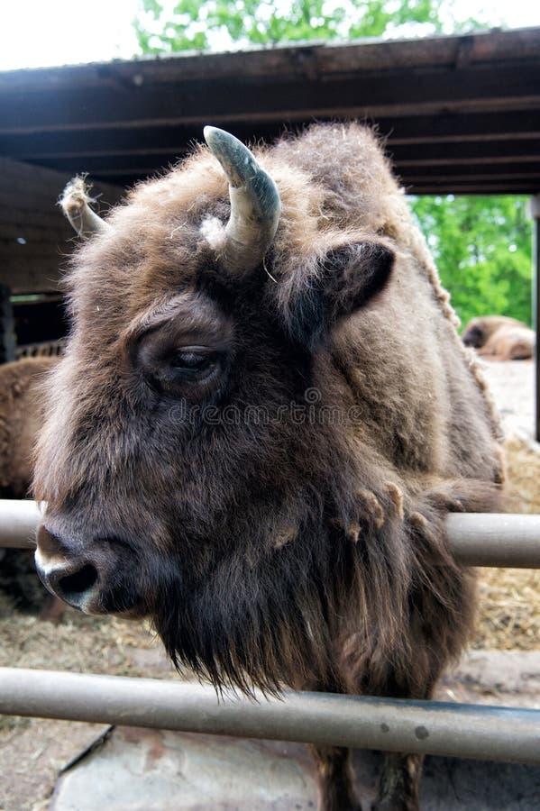 Сохраните вид Европейский или американский бизон или зубр в paddock или зоопарке Большой коричневый бизон группы зубра Дикий зубр стоковые фотографии rf