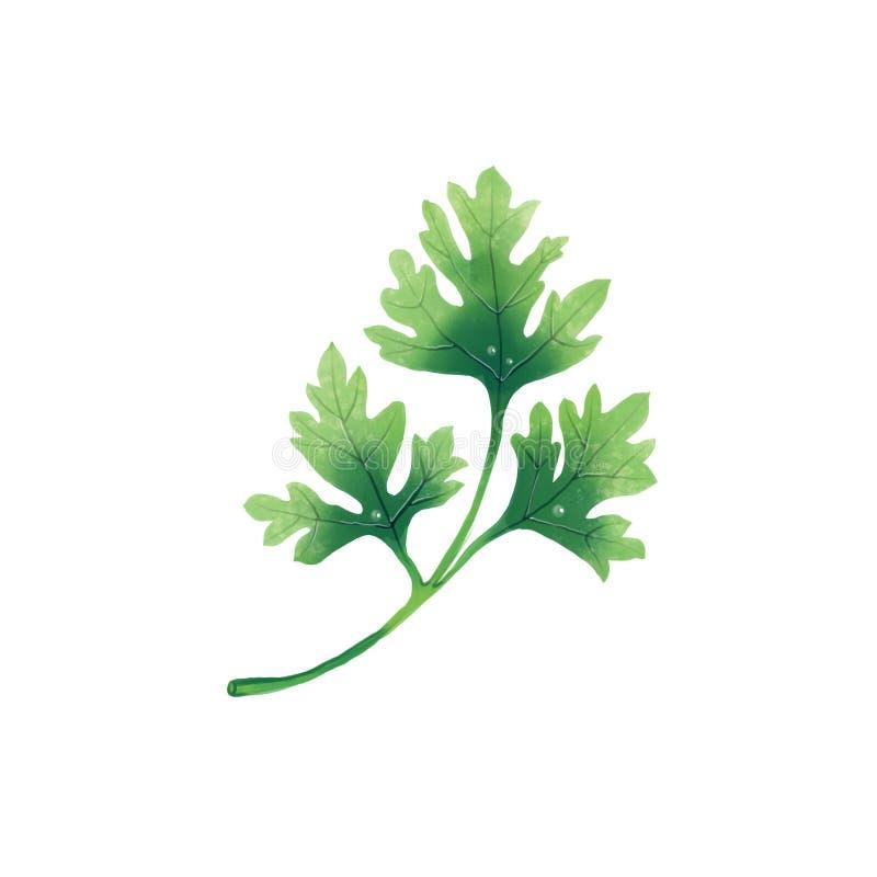 Сочная иллюстрация лист или ветви петрушки иллюстрация штока