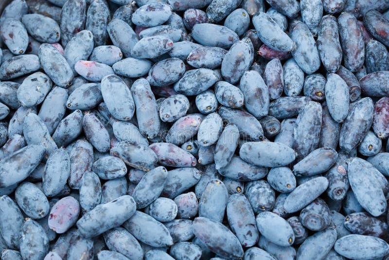 Сочная, красивая, полезная, кислая, голубая ягода каприфолия Сфотографированный в дневном свете стоковое фото