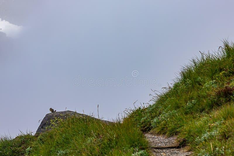 сочная роса покрыла луг с путем водя к туманной бдительности с Сибирским бурундуком стоковое изображение rf