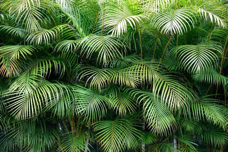 Сочная стена зеленого тропического frond ладони выходит с экзотическими стоковое изображение rf