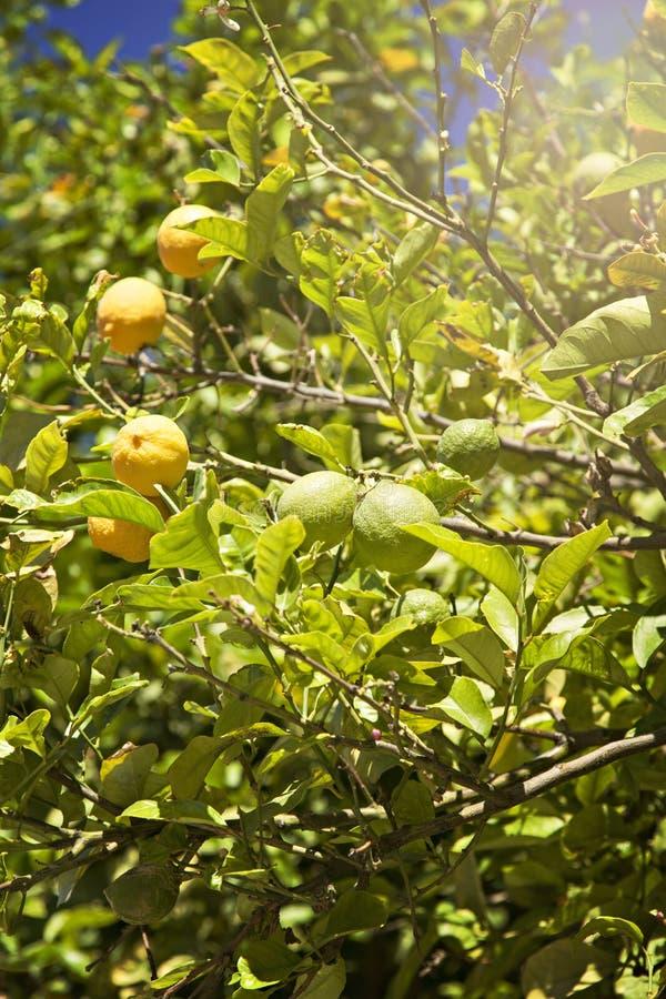 Сочное дерево лимона стоковые фотографии rf