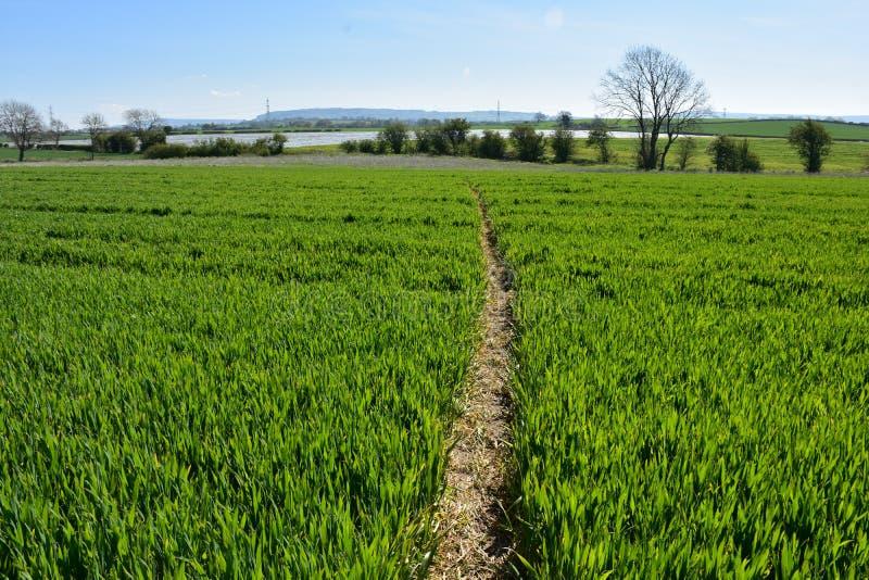 Сочные сельскохозяйственные угодья с вырезыванием тропы через поле стоковое фото rf