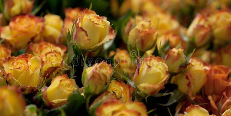 Сочный букет желтых роз стоковое изображение