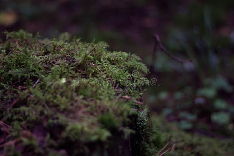 Сочный зеленый мох в конце-вверх леса Мох Буша красивый зеленый Трава леса ( стоковое фото rf