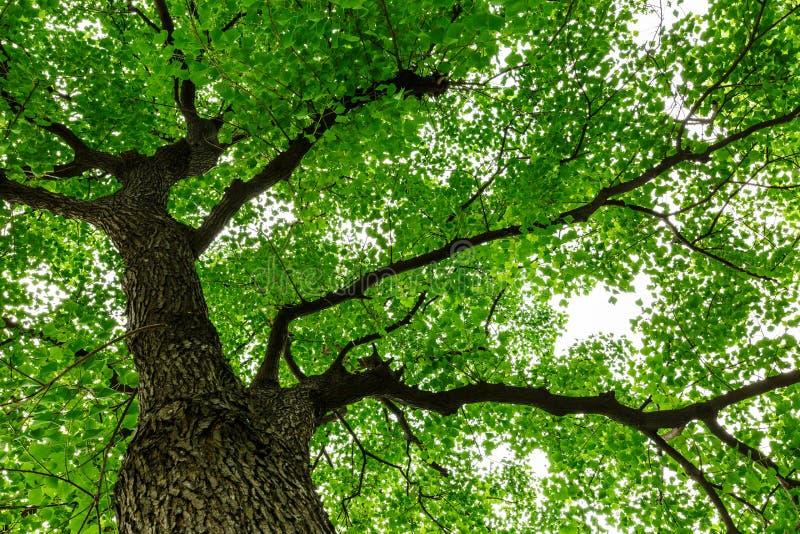 Сочный зеленый китайский рост дерева tallow стоковое фото