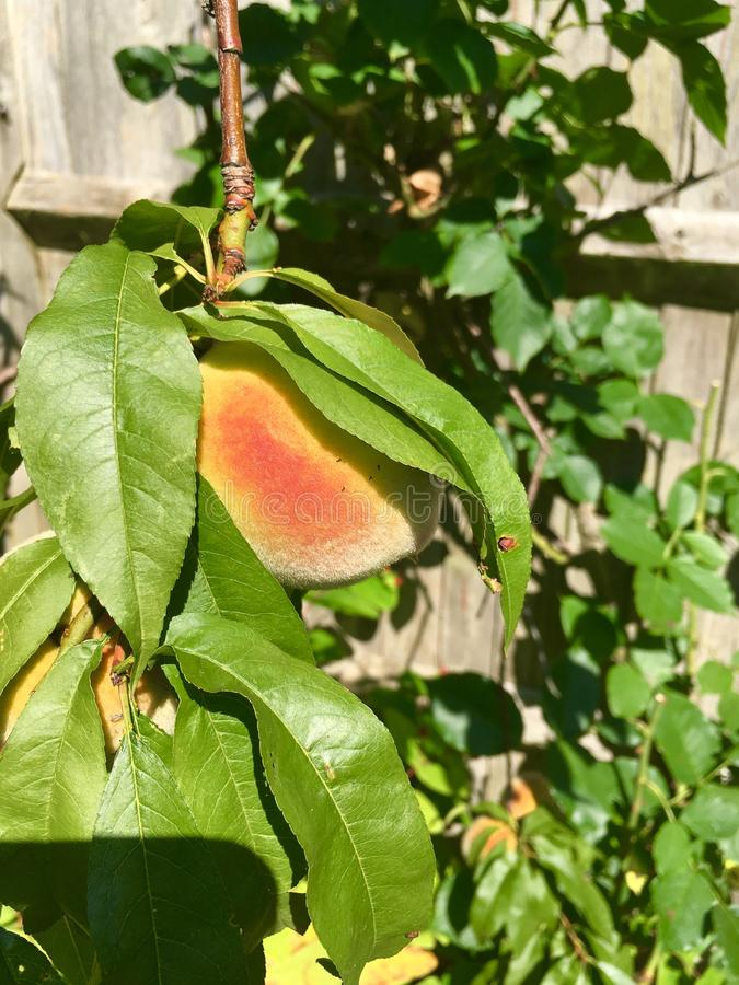 сочный персик зрелый стоковое изображение
