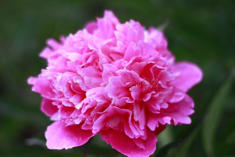 Сочный свежий розовый цветок пиона стоковые изображения