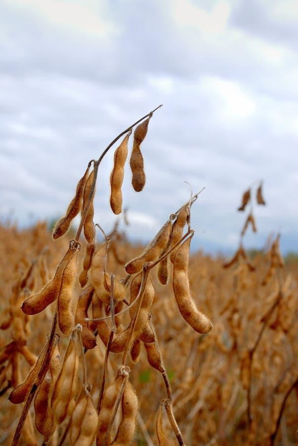 соя стручка хлебоуборки поля готовая к стоковое изображение