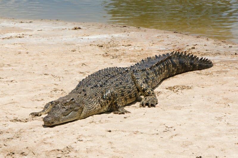 соленая вода крокодила стоковые фотографии rf