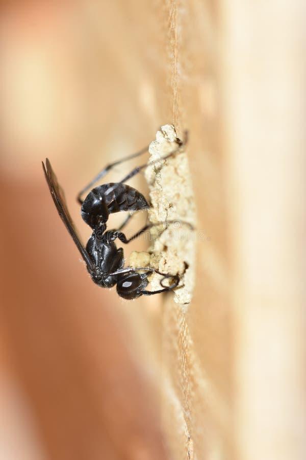 Солитарная оса паука & x28; Carbonarius& x29 Auplopus; стоковое изображение rf