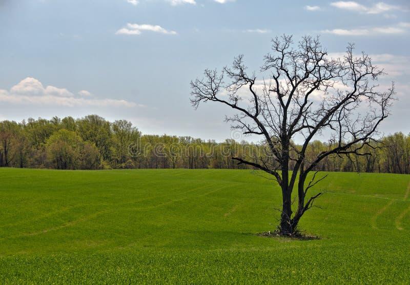 Download Солитарное дерево в зеленые фермеры Field Стоковое Фото - изображение насчитывающей bluets, росток: 40587052