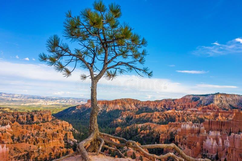 Солитарное дерево в национальном парке каньона Bryce, Юте стоковое изображение rf