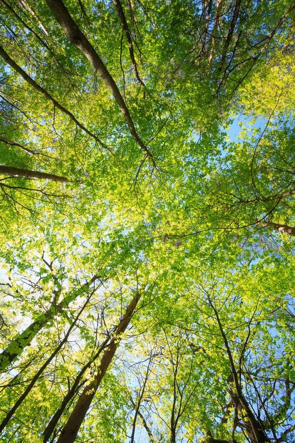 Солнечная сень высоких деревьев Солнечный свет в лиственном лесе, лето стоковые фото