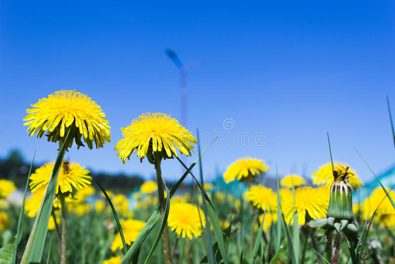 Солнечное голубое небо над желтыми цветками одуванчика стоковые изображения rf