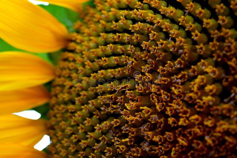 Солнечность в цветке стоковое фото