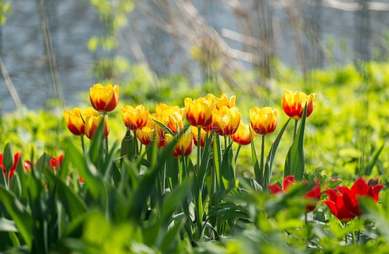 Солнечные тюльпаны весны стоковое изображение rf