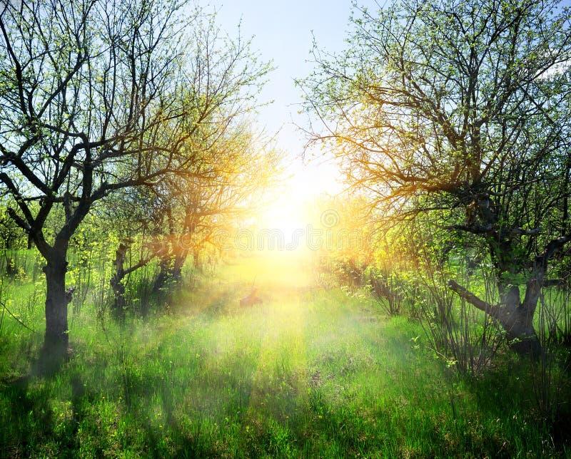 Солнечные лучи в лесе стоковые фотографии rf