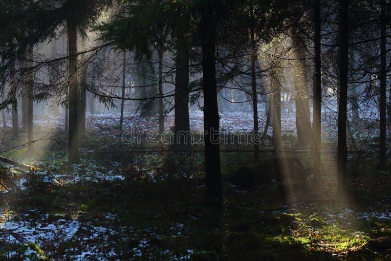 Солнечные лучи в лес тайны стоковое фото rf