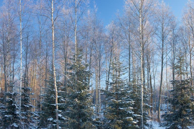 Солнечный лес в зиме стоковое изображение