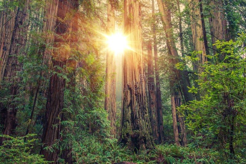 Солнечный лес Redwood стоковая фотография