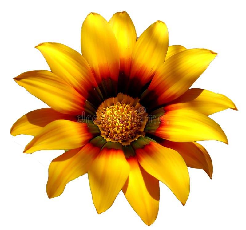 Солнечный желтый цветок стоковое фото rf