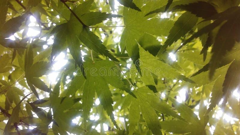 Солнечный свет увиденный через листья acer Palmatum, дерева японского клена на ветви Brook Park в Jersey City, NJ стоковые фотографии rf