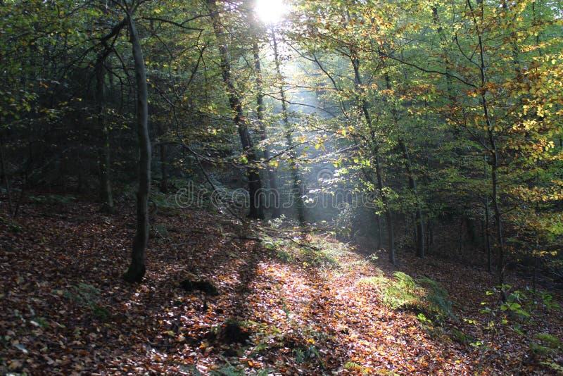 Солнечный свет Forrest стоковые фото