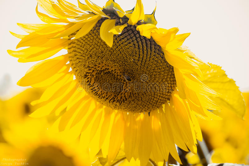 Солнечный солнцецвет стоковое изображение