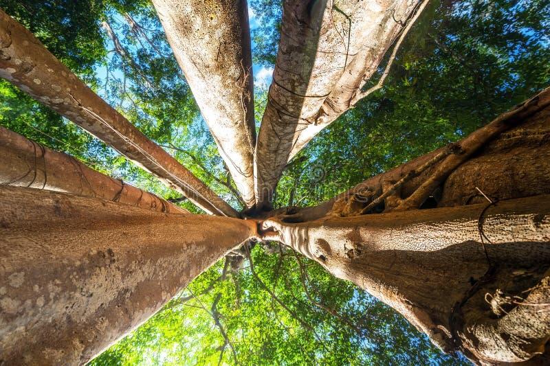 Солнечный тропический лес с деревом гигантского баньяна тропическим Камбоджа стоковое фото