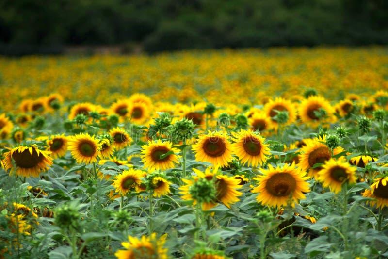 Солнцецветы в лете стоковое изображение