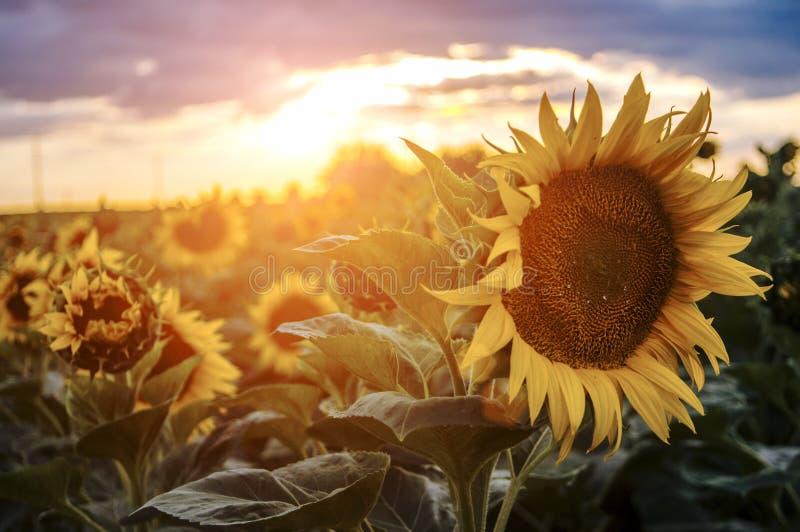 Солнцецветы в заходе солнца стоковые изображения rf