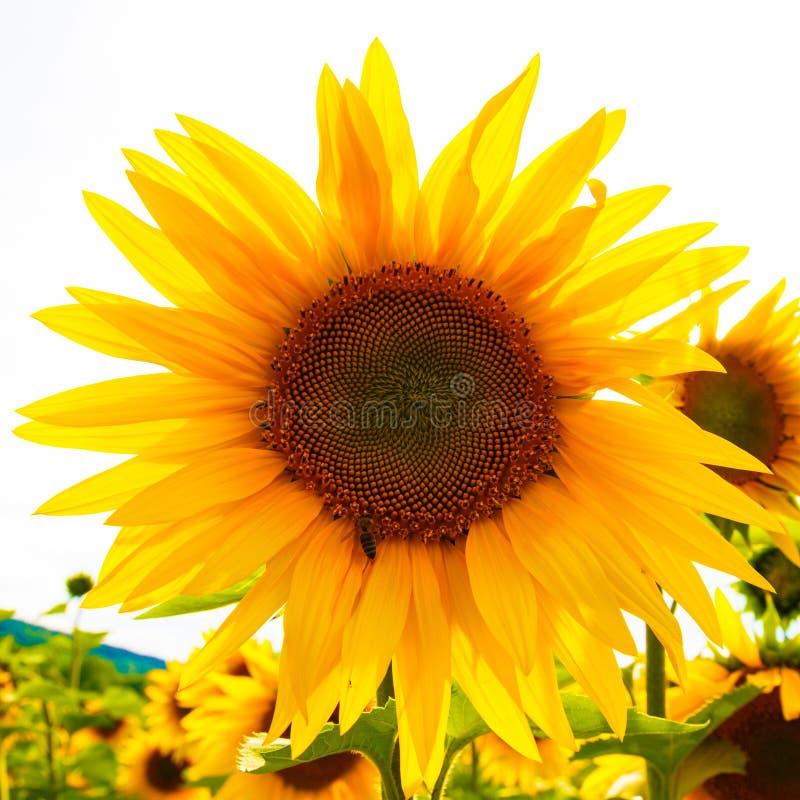 Солнцецветы и пчела стоковые изображения rf