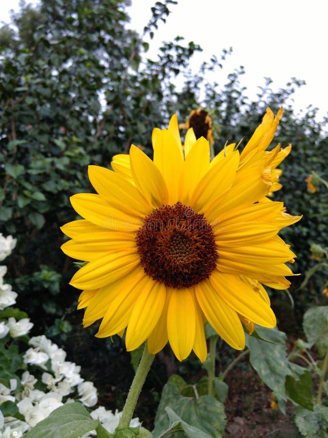 солнцецветы солнечные стоковое фото rf