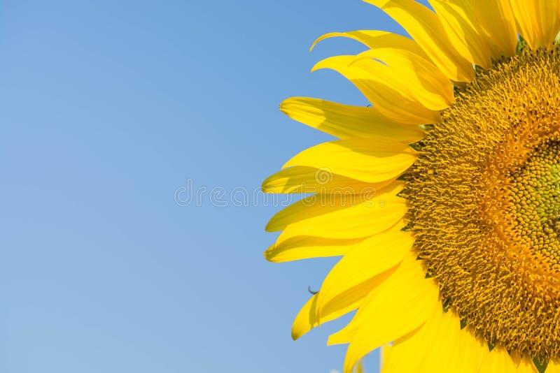 Солнцецветы, солнцецветы зацветая против яркого неба стоковые изображения