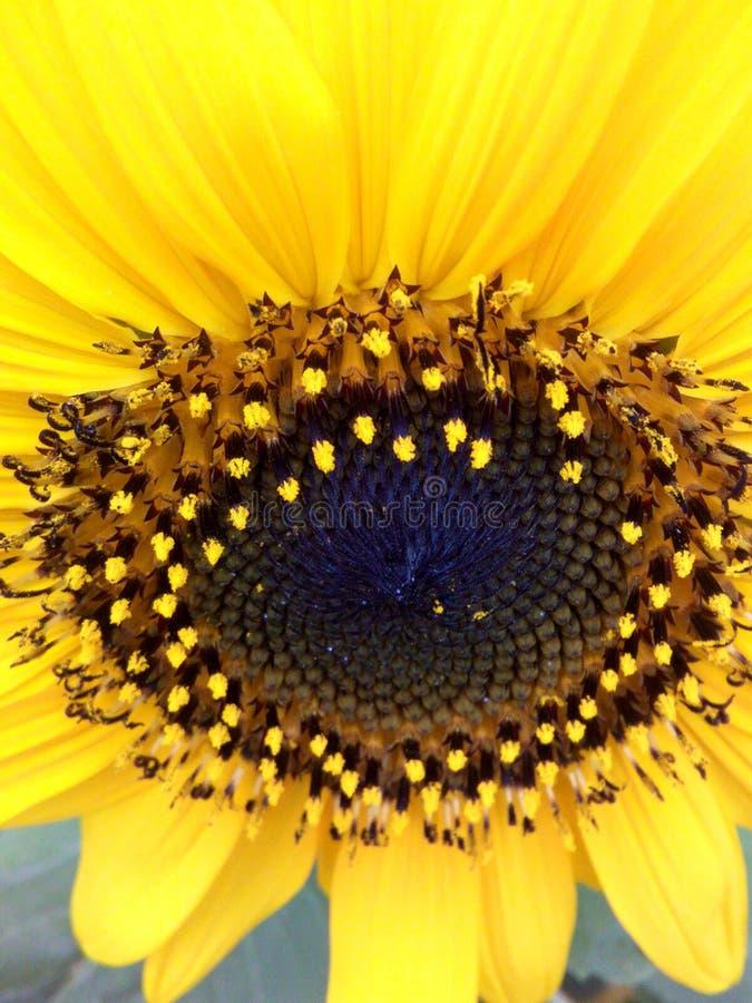 солнцецветы для декоративной стоковые изображения rf