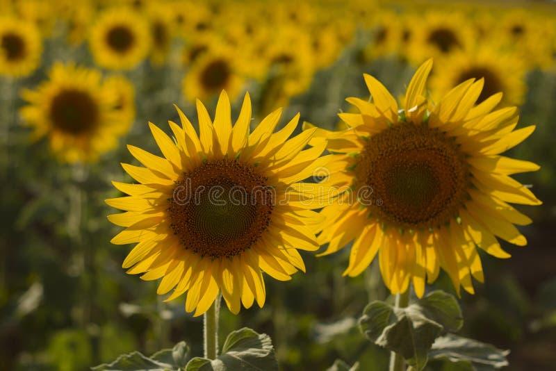 солнцецветы 2 стоковая фотография rf