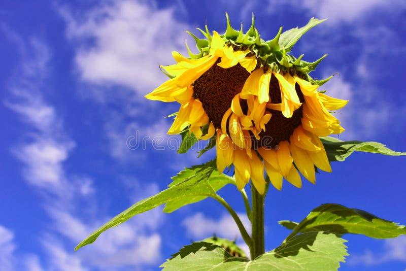 солнцецветы 2 стоковое изображение