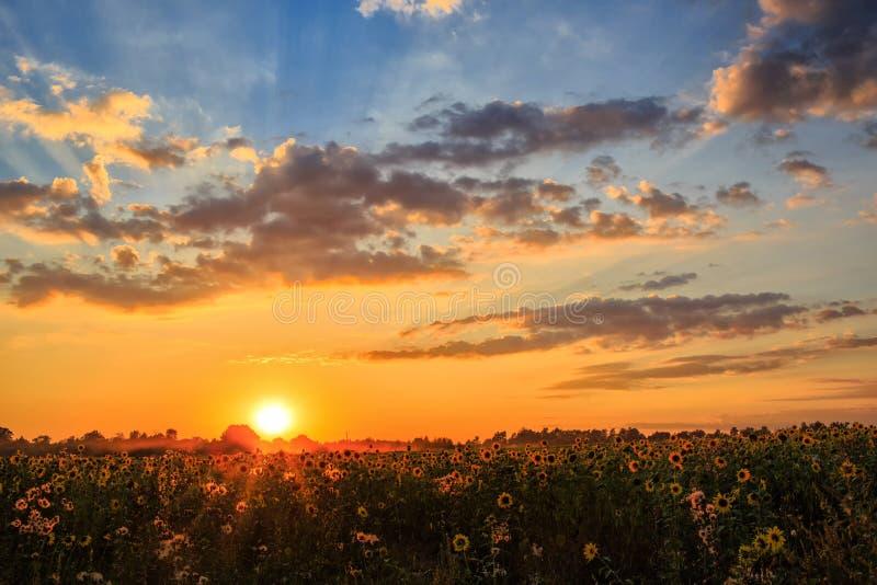 Солнцецветы Mistical зацветая стоковое фото