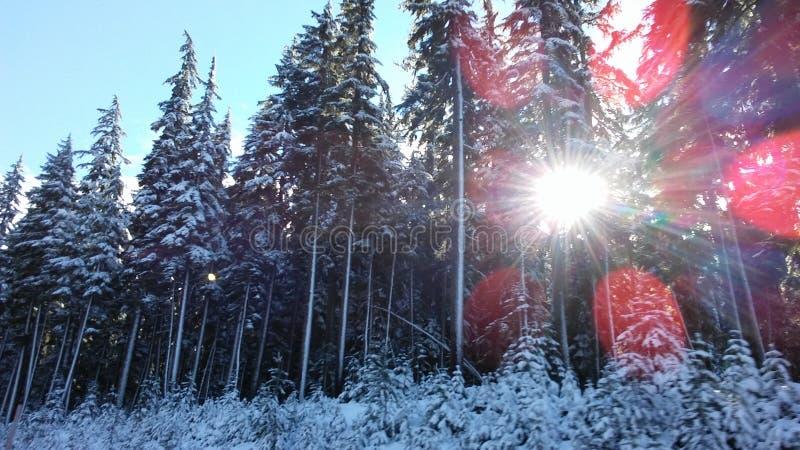 Солнцецвет в деревьях стоковое фото rf