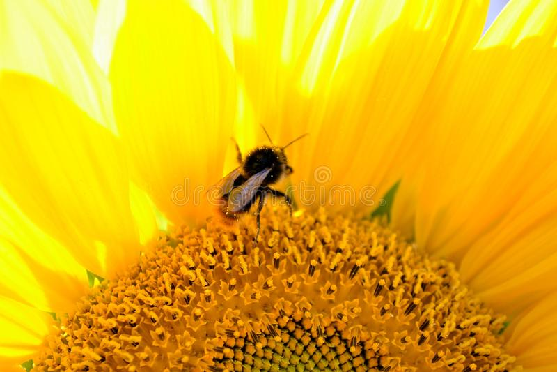 солнцецвет лета природы пчелы стоковое фото