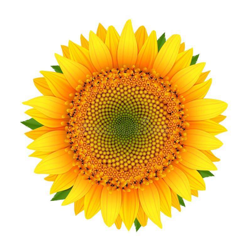 Солнцецвет изолированный на белизне стоковое фото rf