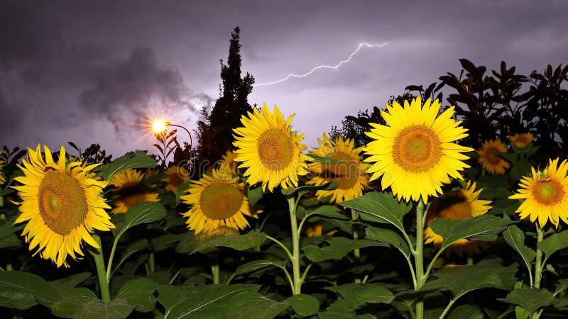 Солнцецвет и молния стоковое фото