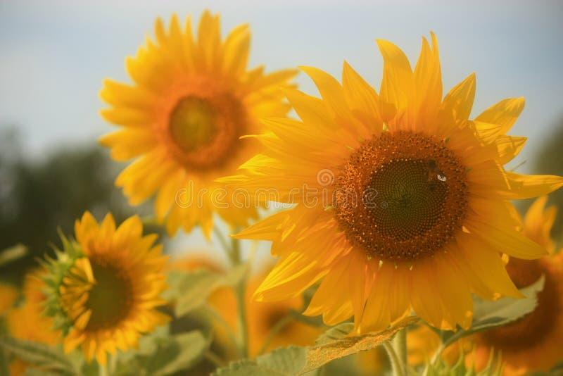 Солнцецвет и пчела стоковые изображения