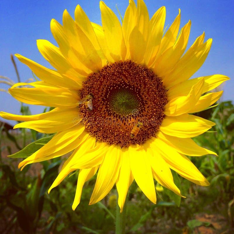 Солнцецвет и пчелы стоковое фото rf