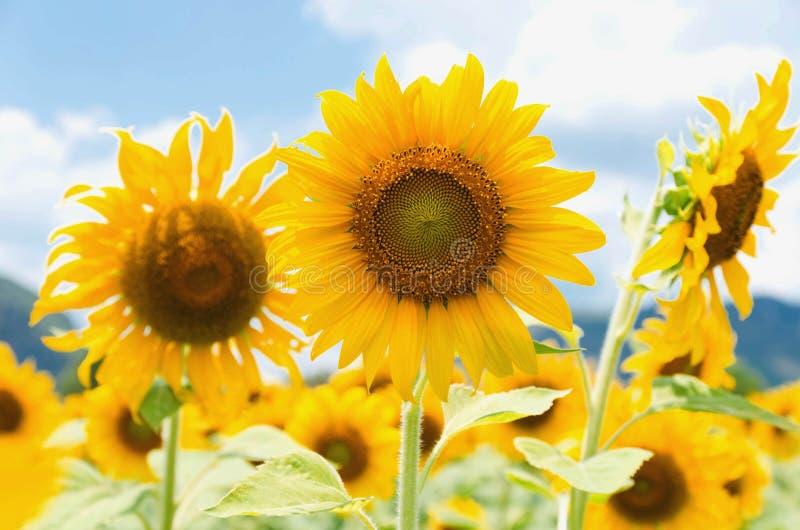 солнцецвет крупного плана поля в саде стоковые изображения rf