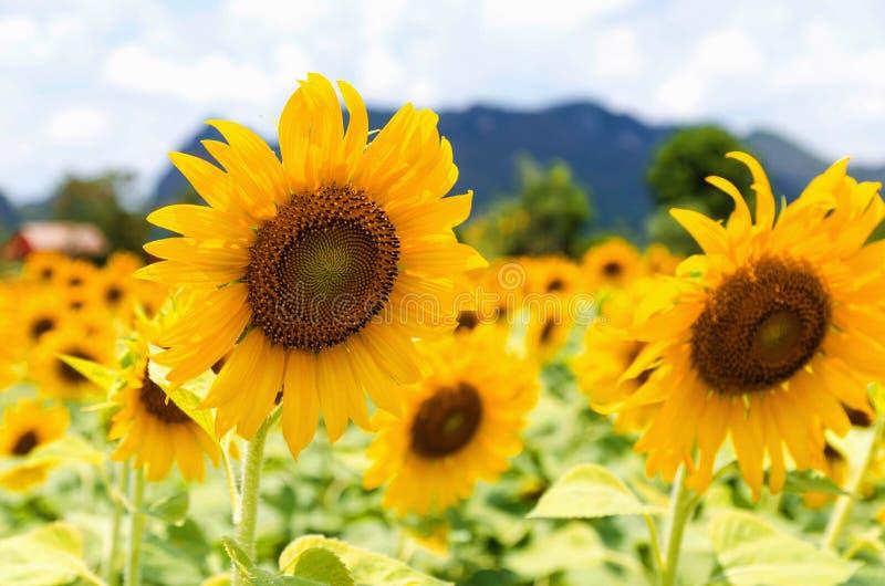 солнцецвет крупного плана поля в саде стоковая фотография rf