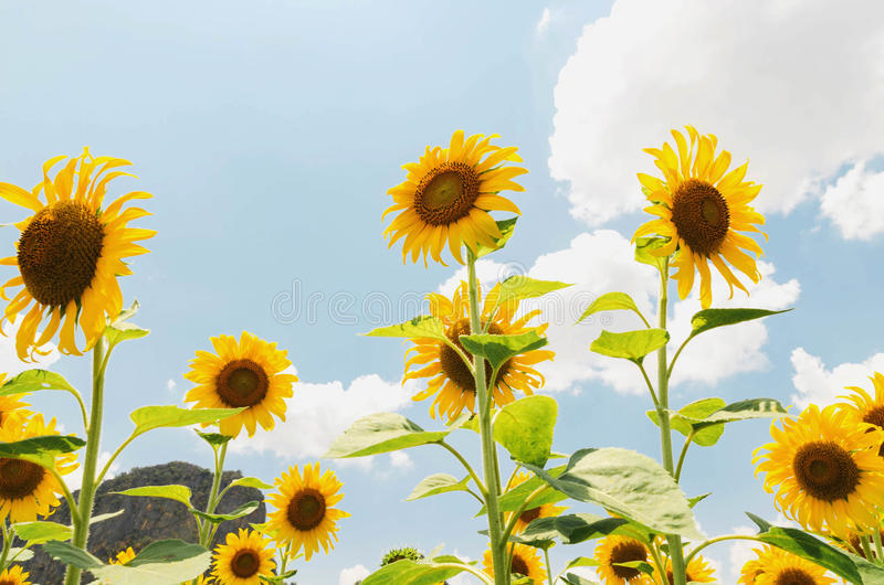 Солнцецвет крупного плана beautyful стоковое фото