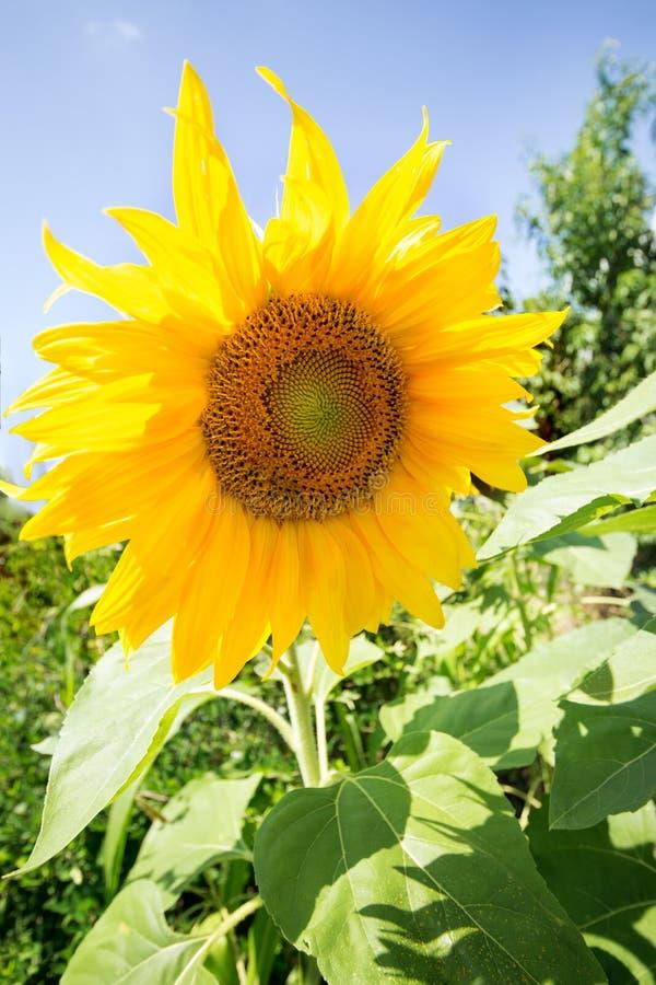 Солнцецвет на голубом небе стоковые изображения