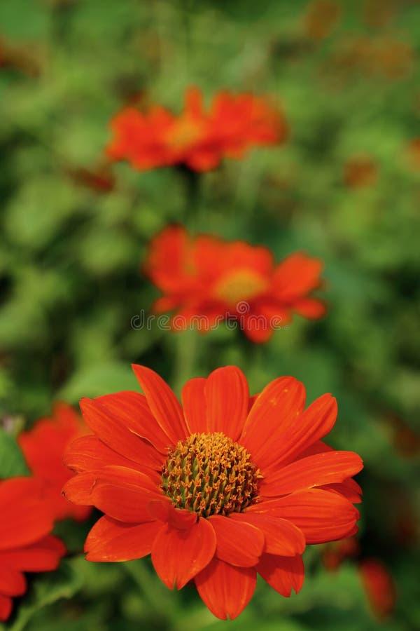 Солнцецвет оранжевого имени цветка цвета мексиканский в саде стоковые фото